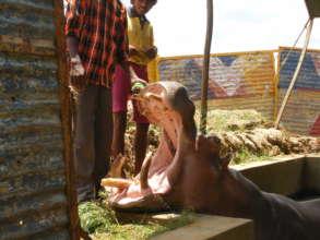 Hippo rescue.