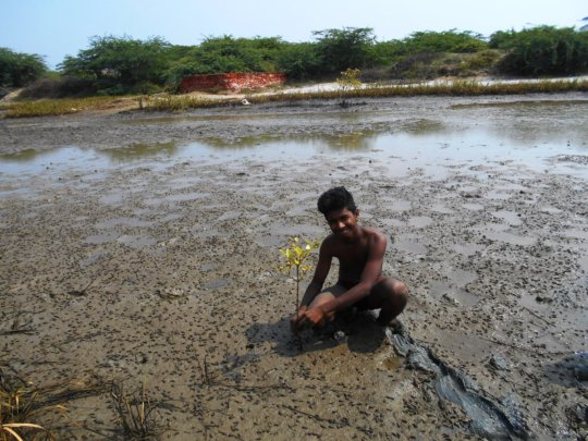 A student takes care on a planted mangrove tree