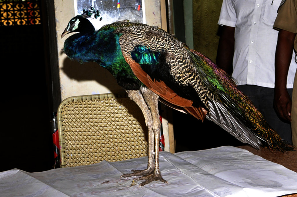 CONSERVATION OF NATIONAL BIRD OF INDIA