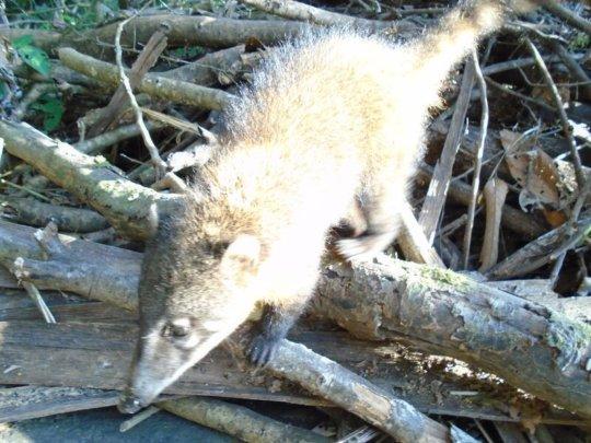 Bolivian jungle possum