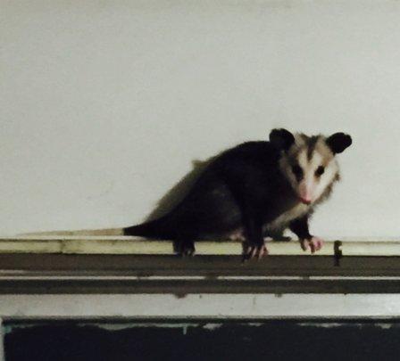 Virginia's possum posing for close-up