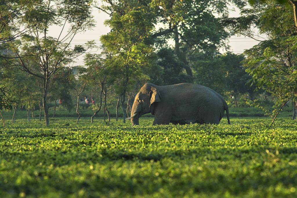 Elephant moving through Tea-garden PC: Avijan Saha