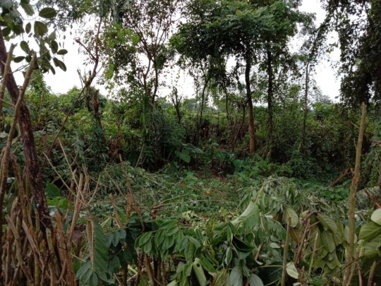 Overgrowth of tea bushes and weeds
