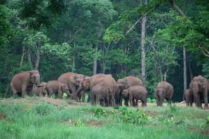 A herd of wild elephants in Dhenkanal