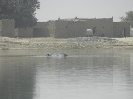 Hippo appears as we arrive at Kakondji
