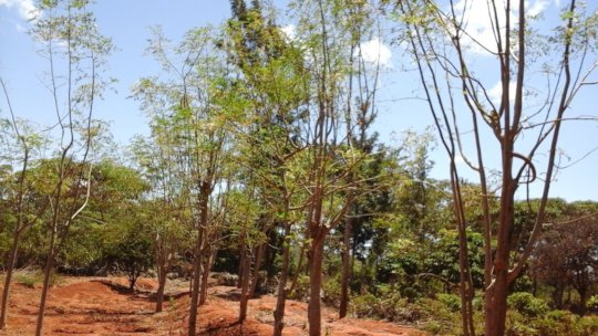 moringa trees in the farmers farms
