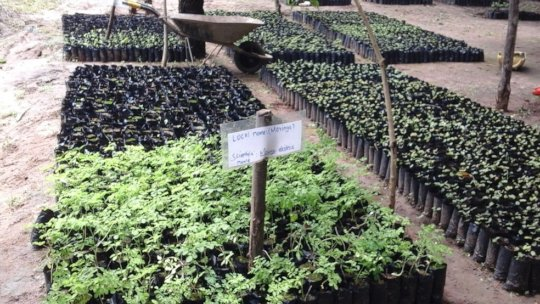 moringa seedlings in the nursery