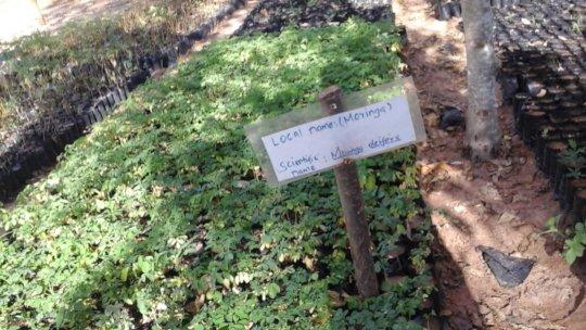 moringa tree seedlings in the nursery