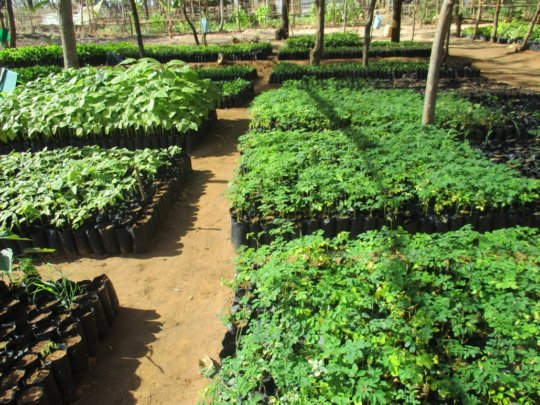 Moringa seedlings in DNRC nursery