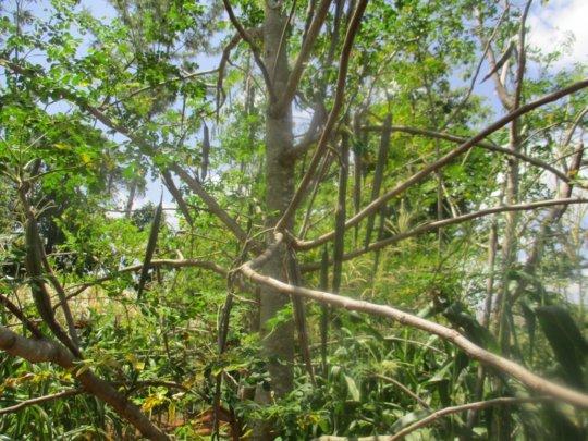 mature moringa tree