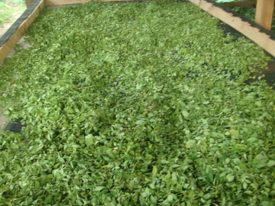 moringa leaves drying