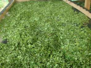 moringa leaves drying