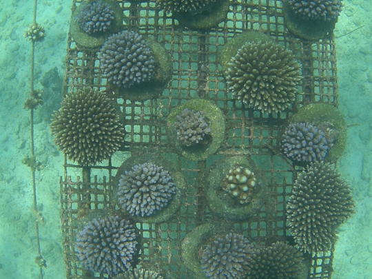 Corals planted onto cement 'cookies' at 11 months