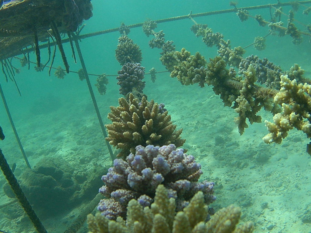 Corals growing on ropes
