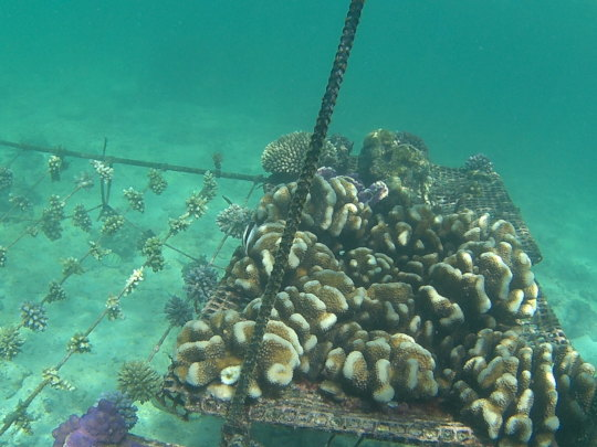 Crowded corals ready for outplanting