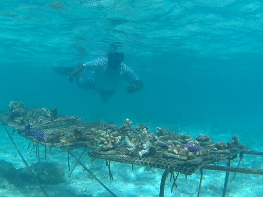 Coral Nursey at Cook Islet, Christmas Island
