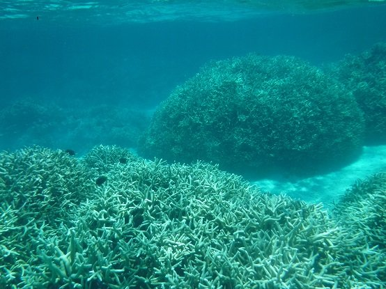 Big staghorn coral thickets beginning to bleach