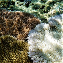 Bleached coral with an unbleached super coral