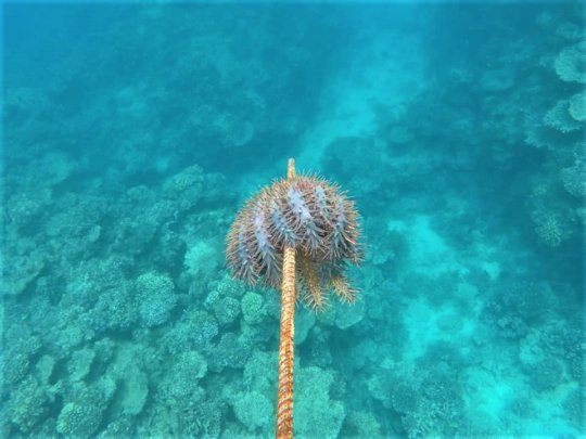 Crown of Thorns Starfish Removed from Nuku Reef