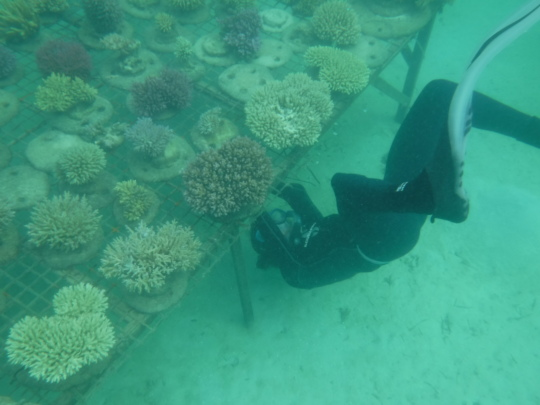 Securing mother corals to the nursery table