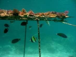 Fish help maintain a coral nursery