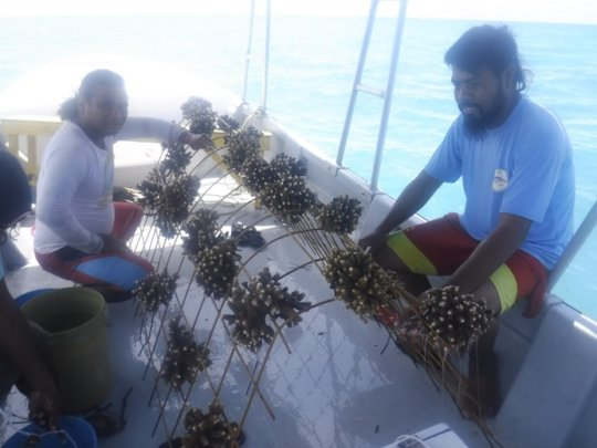 Planting mother corals onto an A-frame