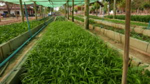 SENGSAVANG Organic Garden
