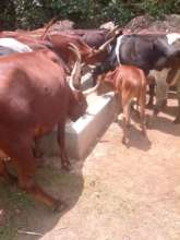 Livestock drinking water from the project