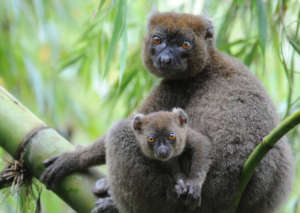 Greater bamboo lemur mother and baby