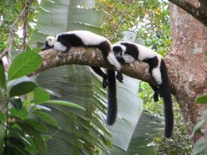 Black and white ruffed lemurs laying on tree