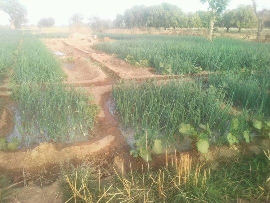 Onion nursery