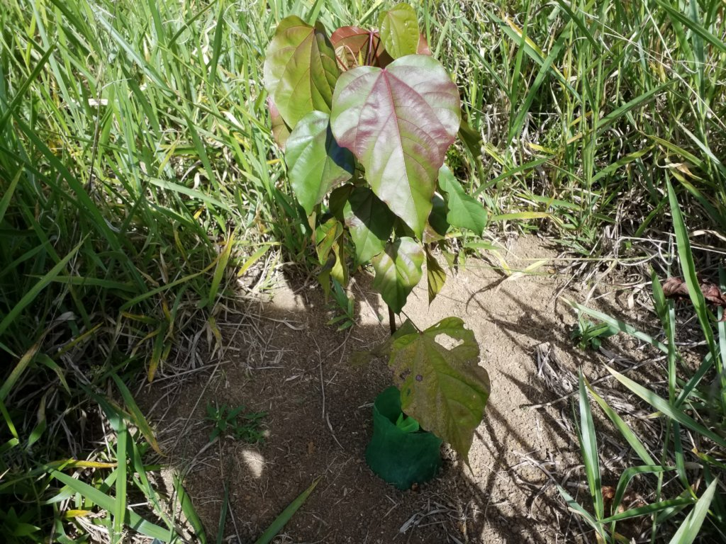 Urucum seedling in the reforestation