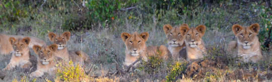 Lion cubs in Big Life's Area of Operation.