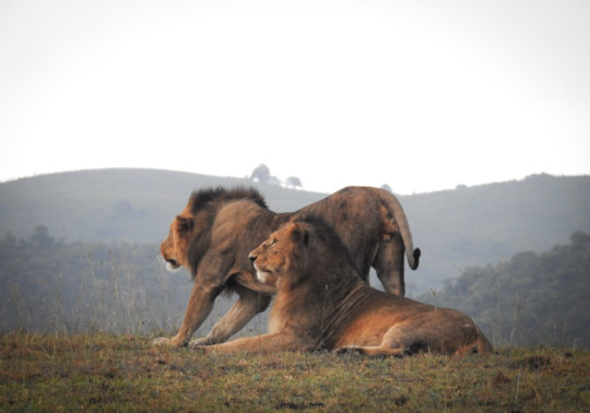 Male lions in the Chyulu Hills