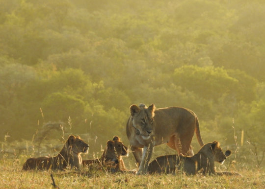 New lion cubs in the Chyulu Hills