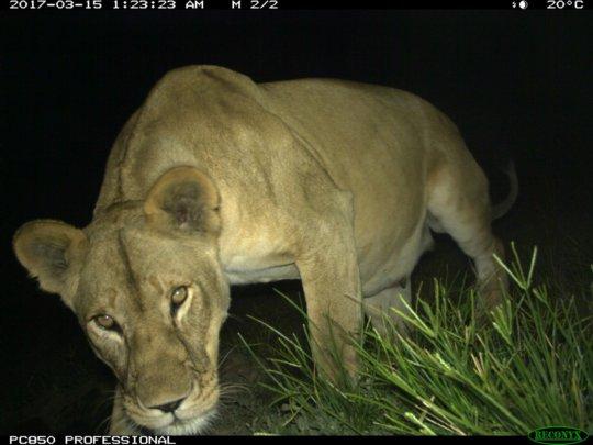 Lioness caught on camera