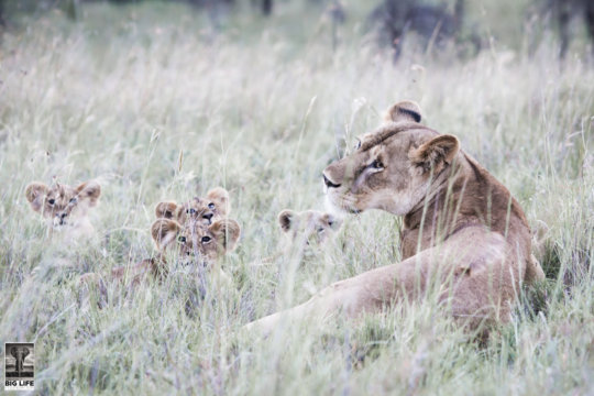 The Maasai Olympics helps protect lions