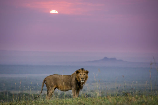 A Lion and his territory in East Africa.