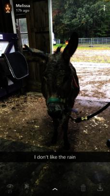 Mr. Jingles, the Miniature donkey