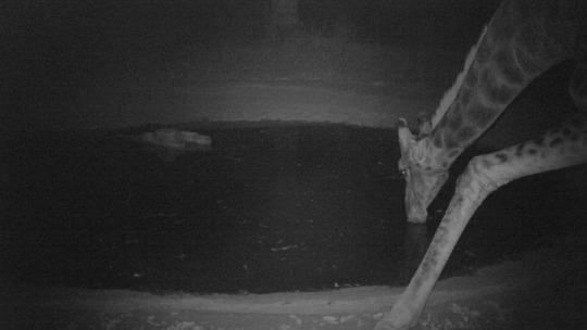 A giraffe at the waterhole!