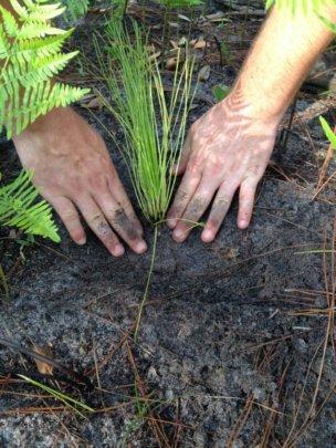 Longleaf Pine Sapling