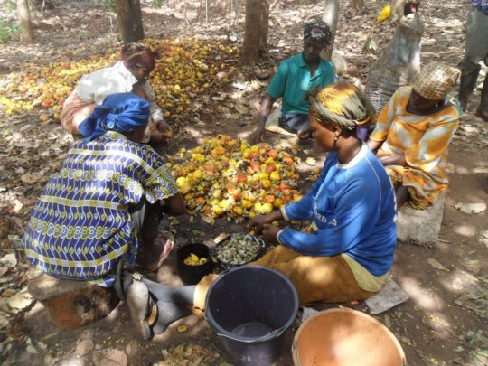 Harvesting cashews.Bee pollination improves yields