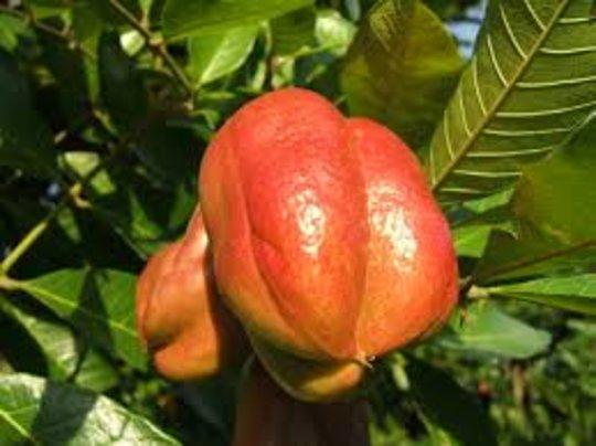 Poisonous Ackee fruit