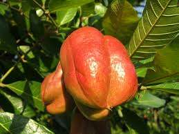 Poisonous Ackee fruit
