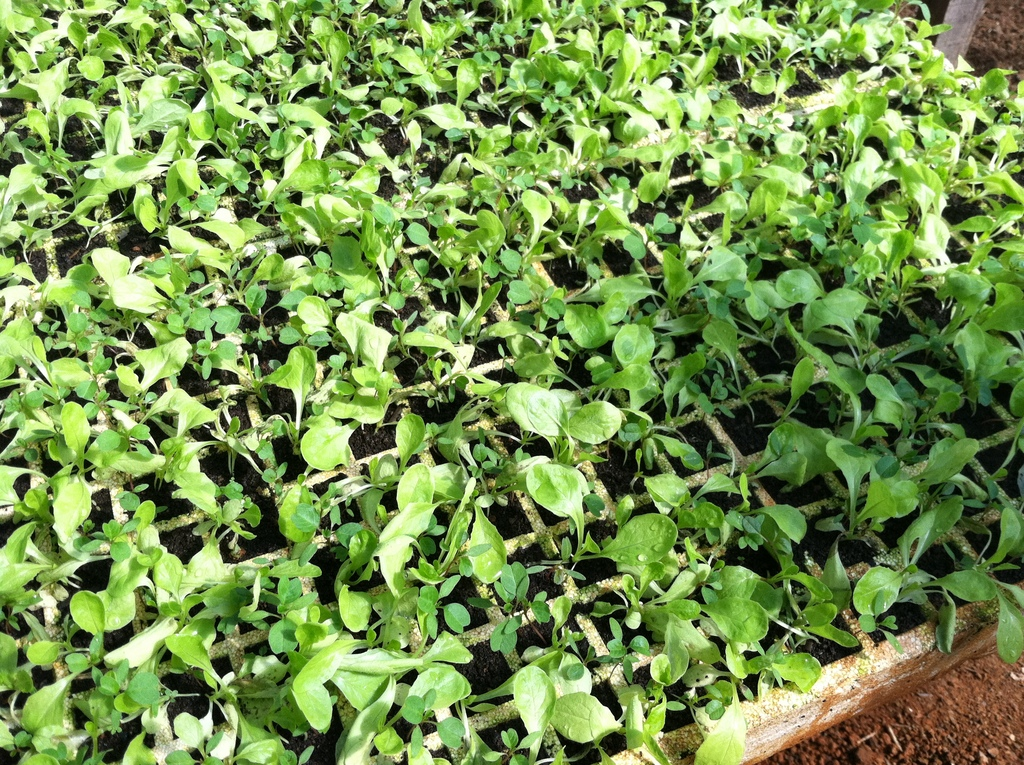 Sprouts ready to go the the farmer´s market