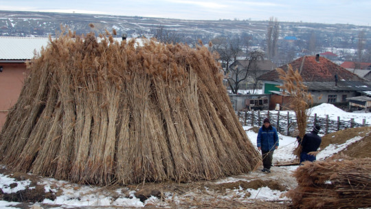 The reed pile is ready for eco-construction!