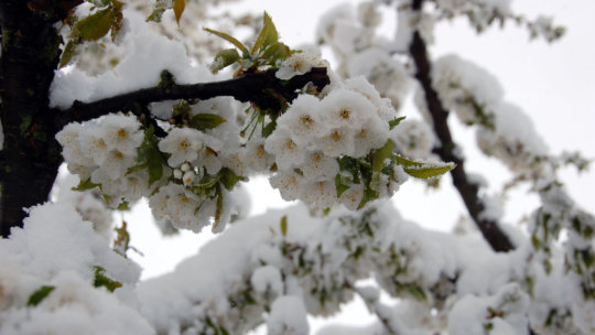 Flowering trees breaking under heavy snow