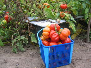 Tomato harvest from EarthBox