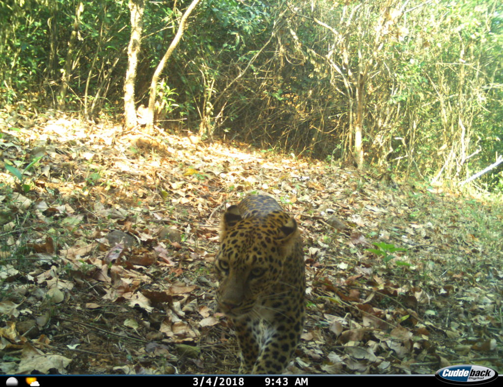Leopard (Panthera pardus) Trapped in Camera Trap