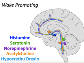 Wake Promoting Neurotransmitters